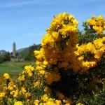 Ginster in Glendalough