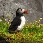 Puffin (Skellig Michael)